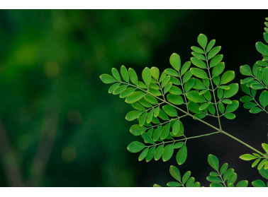 """Dlaczego moringa olejodajna bywa nazywana """"drzewem życia""""?"""