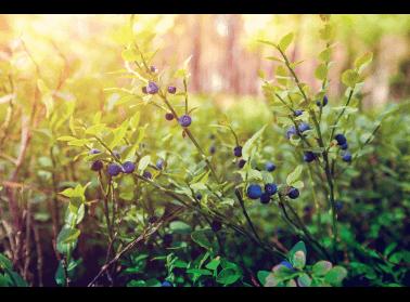 Owoce lasu – źródło zdrowia prosto z natury